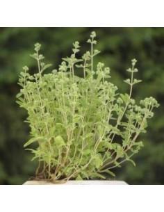 Biologische echte Majoraan (Origanum majorana)