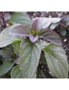 Biologische basilicummunt (Mentha piperita basilicum)