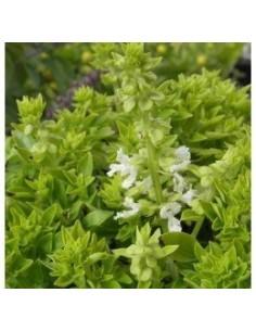 Biologische basilicum minette (Ocimum Minette)