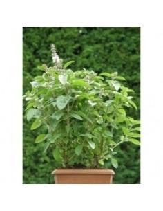 Biologische groenbladige basilicum (Ocimum Magic White)