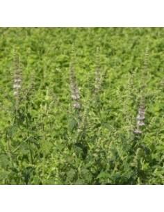 Biologische aardbeienmunt (Mentha arvensis strawberry)