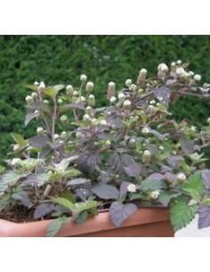 Biologische Azteeks zoetstofplantje (Lippia dulcis)