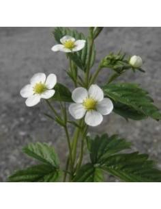 Biologische Bosaardbei (Fragaria vesca var.vesca)