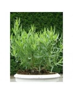 Biologische franse dragon (Artemisia dracunculus senior)