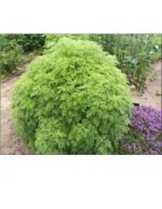 """Biologische Colakruid (Artemisia aborotanum """"Cola"""")"""