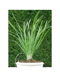 Biologische knoflook bieslook (Allium tuberosum)