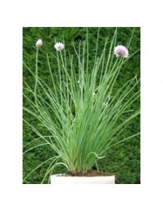 Biologische bieslook (Allium schoenoprasum)
