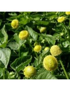 Biologische eetbare prikkelende gele bloem (Acmella oleracea)