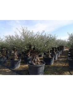 Olijfboom Bonsai groot (stamomtrek 140 tot 210 cm/hoogte 240 tot 280 cm)